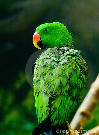 A green parrot with re...