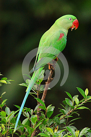Free Parrot Stock Image - 63376721