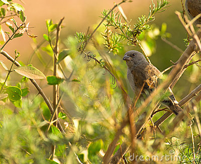 The Parrot-billed Sparrow