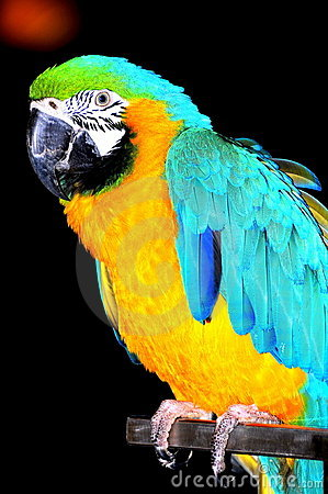 Parrot - blue and yellow macaw