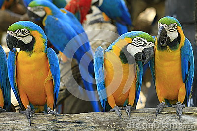 Parrot - Blue-and-Yellow Macaw