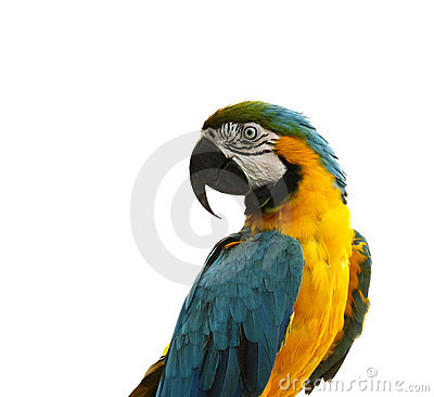 Free Parrot - Curious Looking Yellow Blue Macaw Stock Photo - 7027220