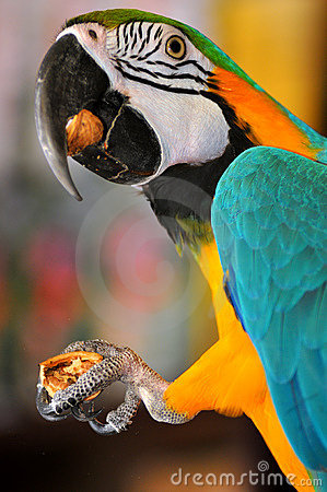 Free Parrot Eats Nut Stock Images - 14068264