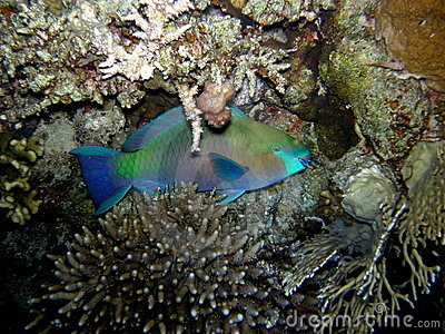 Parrot fish hiding at night