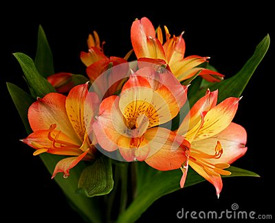 Parrot Lily flower in bloom