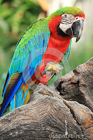 Free Parrot Macaw[Scarlet Macaw] Stock Image - 27770061