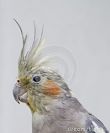 Parrot Nimfa