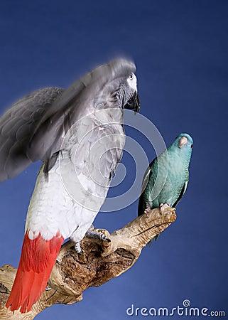 Parrot and parakeet