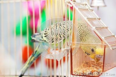 Parrot pecks grains