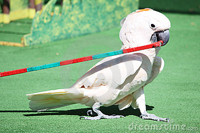 Parrot performing