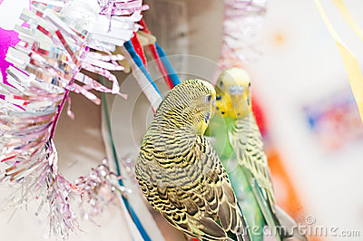 Parrot plays with mirror