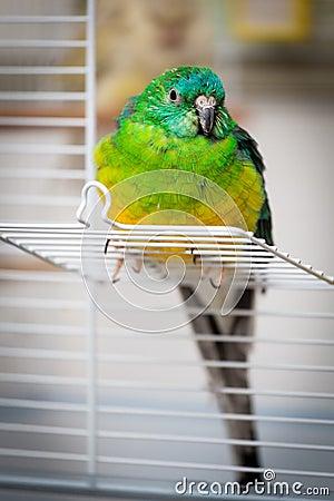 Parrot - psephotus haematonotus