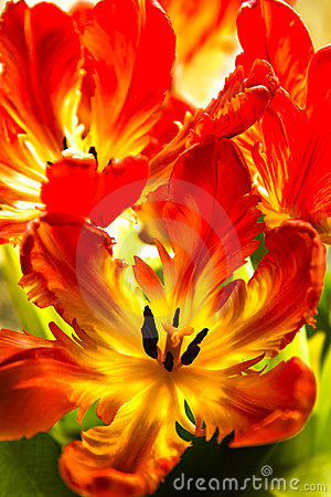 Free Parrot Tulips With Backlight Royalty Free Stock Image - 23646576