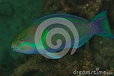 Parrotfish - Andaman Sea