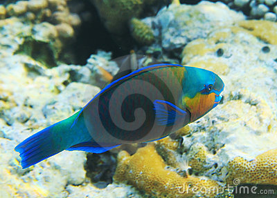 Parrotfish buttlehead