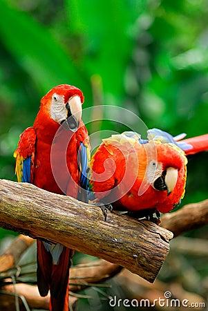 Parrots Editorial Photo