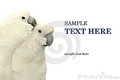 Parrots duo