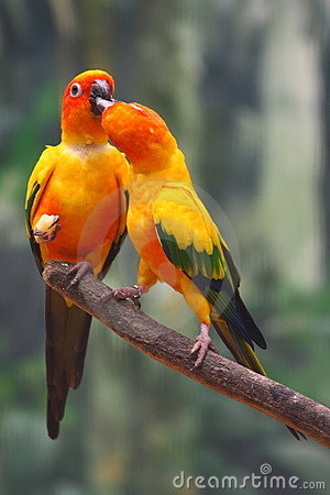 Parrots two yellow