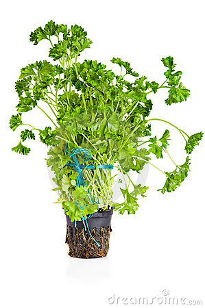 Parsley growing in pot