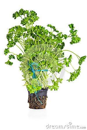 Parsley growing in pot