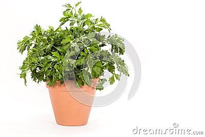 Parsley Plant - Italian Flat Leaf