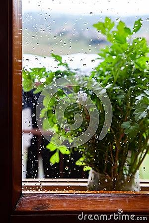 Free Parsley Plant On Rainy Window Sill Stock Photo - 127213760