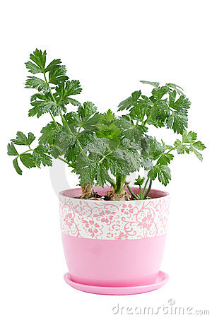 Parsley in the pot