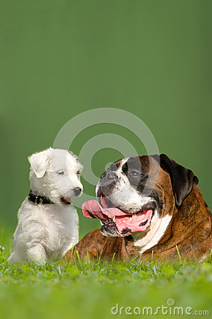 Parson Jack Russell Terrier And German Boxer Royalty Free Stock Images