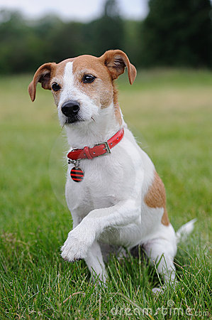 Parson Jack Russell Terrier offering his paw