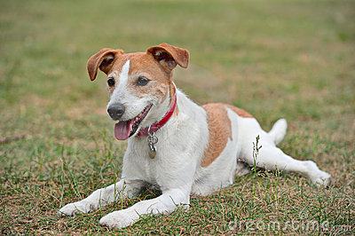 Parson Jack Russell Terrier resting on the grass