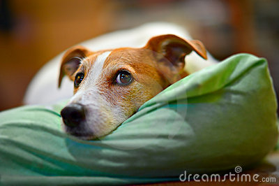 Parson Jack Russell terrier resting on his bed