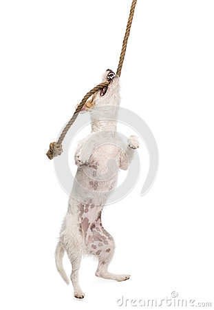 Parson Russell terrier hanging on a rope