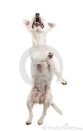 Parson Russell terrier jumping