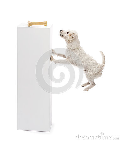 Parson Russell terrier jumping at a bone