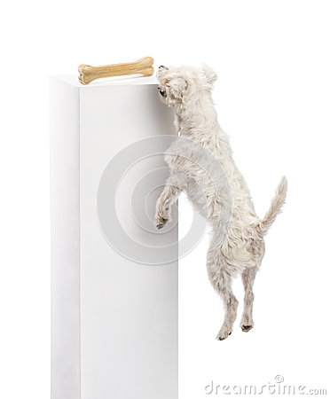Parson Russell terrier jumping to reach a bone