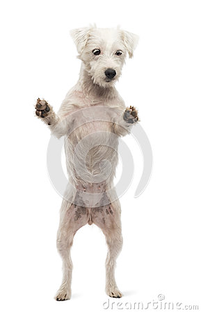 Parson Russell Terrier standing on hind legs