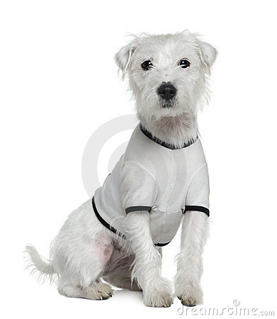Parson Russell Terrier  2 White Parson Russell Terrier