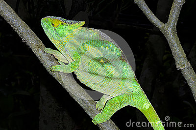 Parson's chameleon, marozevo