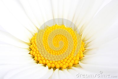 Part of camomile flower. Macro, closeup