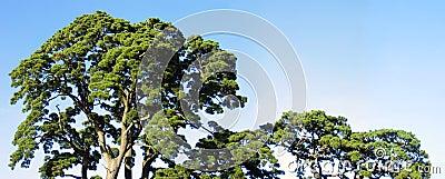 Parte superiore degli alberi - largamente
