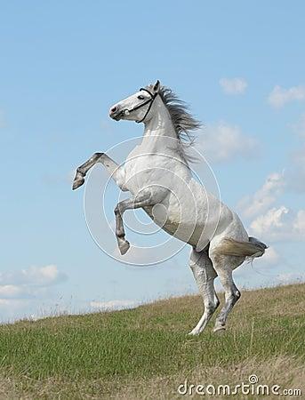 Partes traseiras cinzentas do cavalo