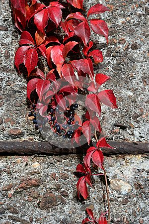 Parthenocissus tricuspidata in red