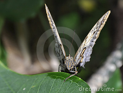 Parthenos Sylvia Clipper Butterfly