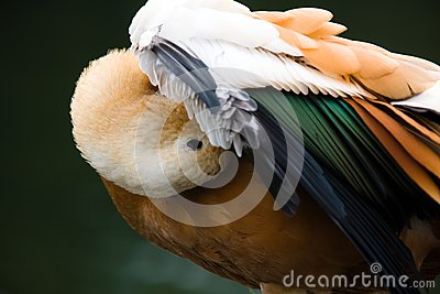 Parti-coloured duck preening wings