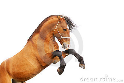 Parti posteriori dello Stallion