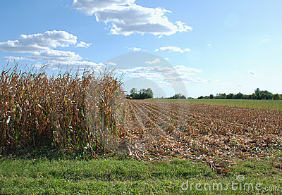 Partially Harvested Corn Field