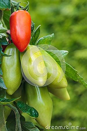 Partly ripened San Marzano tomatos in a vegetable garden