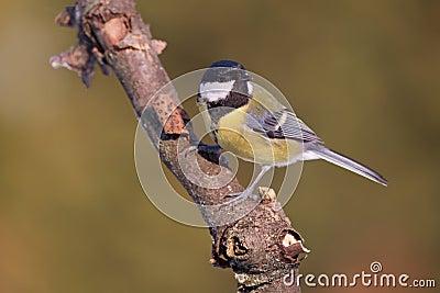 Parus major, Blue tit . Wildlife landscape, titmouse sitting on a branch. Stock Photo