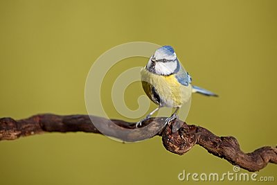Parus major, Blue tit . Wildlife landscape, titmouse sitting on a branch. Stock Photo