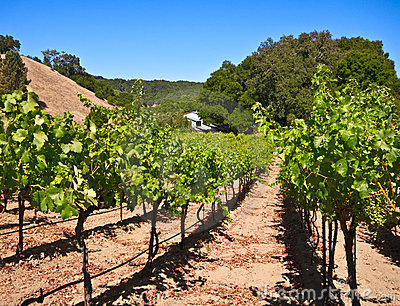 Paso Robles Vineyard, California